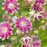 COLUMBINE Nora Barlow Samen - Akelei vulgaris fl. pl.