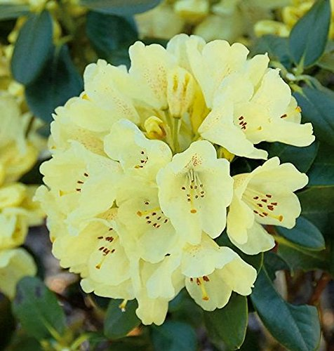 Großblumige Rhododendron Goldkrone® 30-40cm - Alpenrose