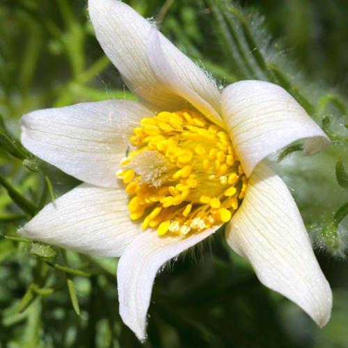pulsatilla-weisse-schwan-seeds