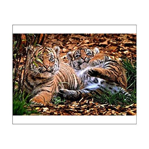 Media Storehouse 10x8 Print of Rare Sumatran tiger cubs at Chessington World of Adventures (1040497)