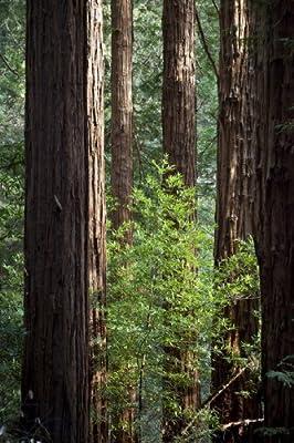 Seedeo Küsten - Mammutbaum (Sequoia sempervirens) Pflanze 3 Jahre von Seedeo bei Du und dein Garten