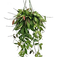 Hoya Gracalis Plant in a 14cm Hanging Pot. Rarely Offered