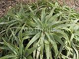 druck-shop24 Wunschmotiv: Krantz aloe, Aloe arborescens #86079809 - Bild auf Forex-Platte - 3:2-60 x 40 cm/40 x 60 cm