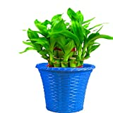 #8: Trust basket Lucky Bamboo With Blue Planter