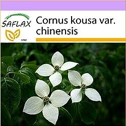SAFLAX - Asiatischer Blüten - Hartriegel - 30 Samen - Cornus kousa var. chinensis