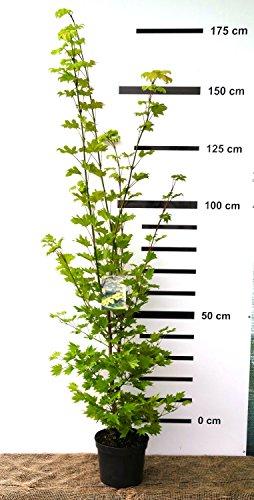 Japanischer Fächer-Ahorn 140/160 cm hoch - grün - Acer shirasawanum Aureum - Veredelung - im Topf