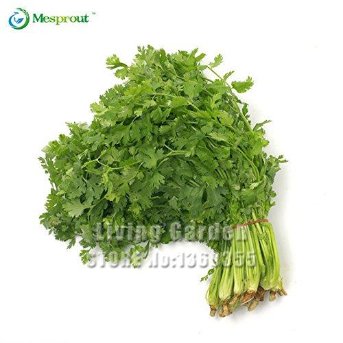 ¡Grande Vente . 50pcs alcaravea semence de coriandro graine de persil coriandre sains plantes fournitures Graines Légumes vegetable garden