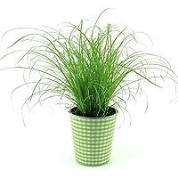 """Katzengras Pflanze """"Extra weich""""+ Dekotopf Grün/weiss mit Wasserspeicher, zur Verdauungsunterstützung ihrer Stubentiger!"""