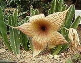 Portal Cool Stapelia Gigantea ~ Incredibile Giallo Carrion ~ enormi succulente Molto raro 3 Semi ~