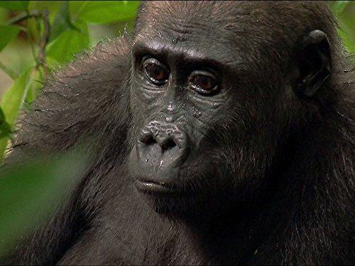 angelique-und-die-gorillas