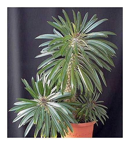 Pachypodium lamerei - Madagaskar-Palme - 50 Samen