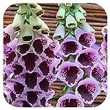 Foxglove Digitalis 'Sugar Plum' x 6 Large Perennial Plug Plants