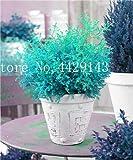 IDEA HIGH Samen-Garten Topfpflanze 30 Stück seltene blaue Zypresse Bonsai-Baum, Bonsai für Blumentopf Pflanzgefäße: 10