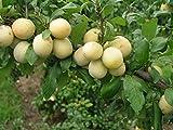 Fruchtbengel, Mirabelle Bellamira, Prunus syriaca, groß, goldgelb, aromatisch
