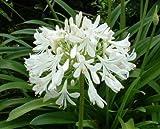 Vivai Le Georgiche Agapanthus Orientalis White