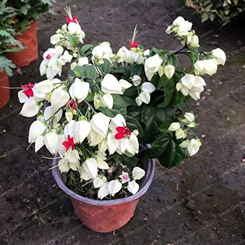 Bloom Green Co. Clerodendrum thomsonae Bonsai Lila Doppelblütenblätter Fuchsia Topfblumen Bonsai Topfpflanzen hängende pinkfarbene Blumen 100 PCS