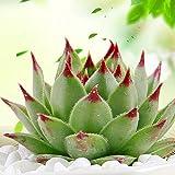 FOReverweihuajz 100Pcs Graptopetabum Paraguayense Samen Blumentopf Pflanze Sukkulenten Garten