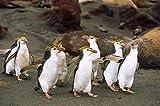 Konrad Wothe – Royal Penguin group on beach Macquarie Island Australia Kunstdruck (60,96 x 91,44 cm)