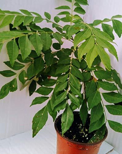 Curry Leaf Baum Essbare tic indische Pflanze Murraya Koenigii Pot # 4