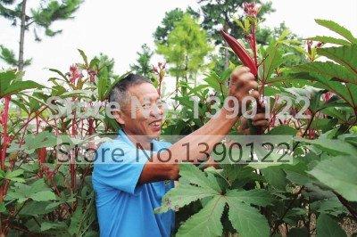 100 graines pcs de gombo, Red gombo Seeds meilleures graines de légumes pour légumes SEED maison jardin plantation NO-OGM pour les reins