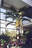 Künstliche Kokosnuss-Palme mit 1148 Blättern, DELUXE, 480 cm - große künstliche Palme