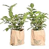 Gemüse von Botanicly | 2 × Teepflanze | Höhe: 30 cm | Camellia Sinensis
