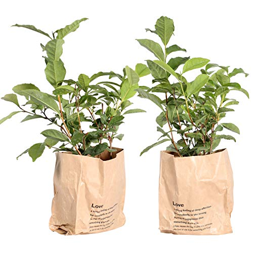 BOTANICLY | 2 × Herbs and Vegetable Plants - Tea Plant | Height: 30 cm | Camellia Sinensis