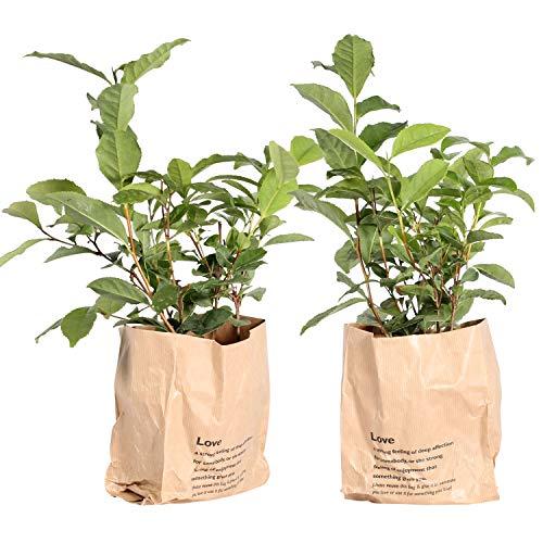 Tee-Baum | exotische Pflanze | 2 Pflanzen | Zimmerpflanze | Höhe 30 cm | Topf 12 cm | einfache Wartung - Sustainable Palm