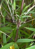 Fargesia fungosa - bambou tracant - 15 graines