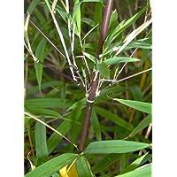 Fargesia fungosa - bambú - 15 semillas