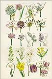 Poster 20 x 30 cm: Wildblumen, Sowerby 1281-1300 von Ken Welsh/Design Pics - Hochwertiger Kunstdruck, Kunstposter