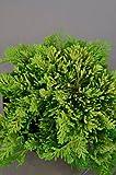 gelber Teppichwacholder Juniperus horizontalis Golden Carpet 25-30 cm breit im 2 Liter Pflanzcontainer