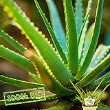 Sweet Aloe vera Essbare Aloe Vera barbadensis Miller Frische Baumschul Qualität Gartenkräuter -