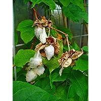 Asklepios-seeds® - 25 Semillas de Gossypium herbaceum algodón de Levante, algodón, algodonero, algodonero herbáceo, xylon