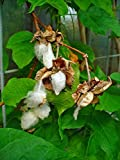 Asklepios-seeds - 250 Semi di Gossypium herbaceum, Cotone, Gossypium herbaceum