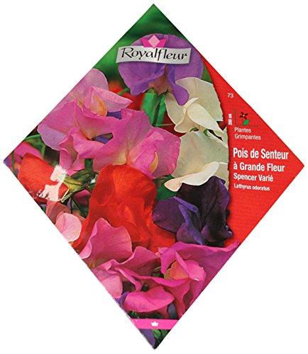 royal-fleur-semilla-de-olor-spencer-variado-1cor