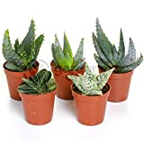 Aloe Vera Mix - 5 Plants - House / Office Live Indoor Pot Plant - Ideal Gift