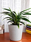 #7: Rolling Nature Air Purifying Spider Plant in White Dew Bucket Ceramic Pot