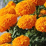 #6: African Marigold Orange Kraft Special Flower Seeds for Home and Balcony Gardening with Free 100 Gm Agropeat (Plant Growth Booster) washed and treated Peat provides complete nutritional supplement and improves soil health for sustainable growth of crop plants.