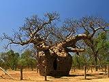 wandmotiv24 Fototapete Vliestapete Affenbrotbaum Natur KT201 Größe: 350x260cm Natur Australien Tapete Outback