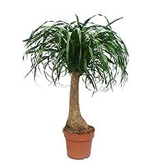 unverzweigt - Zimmerpflanze