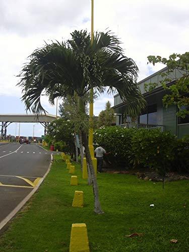 Portal Cool Samen Paket: Adonidia merrillii - The Christmas Palm - 10 große Samen