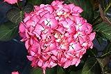 Hortensie Casinos Hydrangea macrophylla Casinos Containerware 30-40 cm hoch