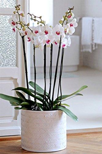 pianta vera fiorita ornamentale orchidea bianca 'cuore rosso' con 2 steli in vaso Ø 12 cm - h 75 cm