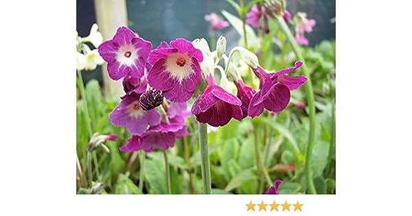 PRIMULA  ALPICOLA Very fragrant variety   100 SEEDS