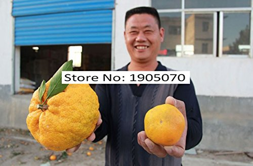 11.11 Grande Vente . 20 pc/sac de semences de Orange Gaint, maison Decration et maisons de graines de fruits Rare