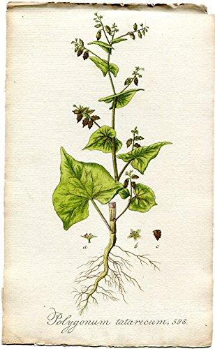 Polygonum tataricum. Altkolorierter Kupferstich; No. 598 (Aus: Flora Batava, of afbeeling en beschrifjving van nederlandsche gewassen (...)).