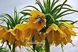 Förderung! 10 PC / Beutel-Gelb Kaiserkrone Seeds imperialis Lutea Samen Easy Home Garten Bodendecker Pflanze wachsen, # LA01DW
