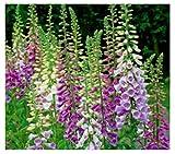 30x Fingerhut Excelsior Mix - Digitalis parviflora Samen Blumen Saatgut KS32