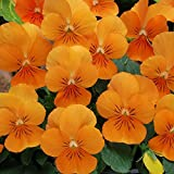 20 viola cornuta seeds SORBET ORANGE XP bright orange flowers, prolific bloomer